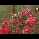 O pěstování půdo pokryvných růží