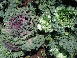 okrasná kapusta, zeleň, rostliny, kytice