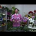 Orchidea Phalaenopsis - pěstování orchidejí - video