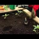 Papriky vysadba - video