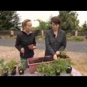 Pěstování jahod v truhlícich - video