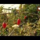 Pěstování kustovnice - video