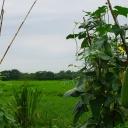 Pěstování lufy válcovité v našich klimatických podmínkách