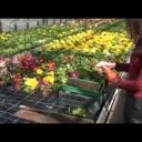 Přepichování rostlin - pikýrování - video