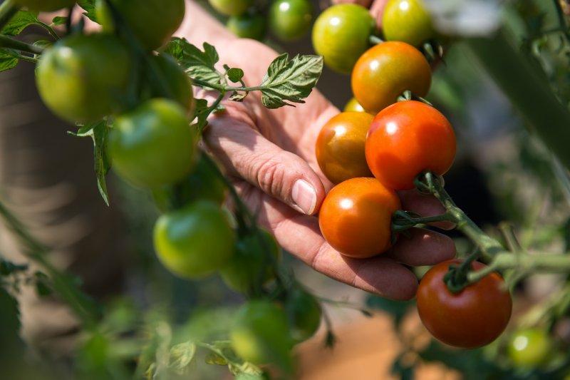 rajčata, zelenina, zahrádka, pěstování rajčat