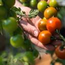 Rajčata se nemusí urodit, když je špatně přesadíme, přeléváme či vystavujeme špatným teplotám