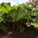 Rebarbora je zdravá zelenina, ale ne pro všechny!
