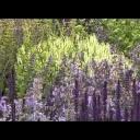 Šalvěj - video