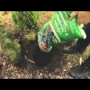 Výsadba jehličnanů - video
