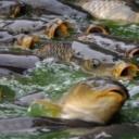 Ryby, které žijí ve vodách zasažených sinicemi, nezpůsobují zdravotní problémy