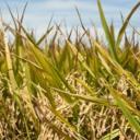Rýže a co jste o ni možná nevěděli