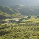 Zelený čaj snižuje nejen riziko rakoviny, ale léčí i další civilizační choroby!