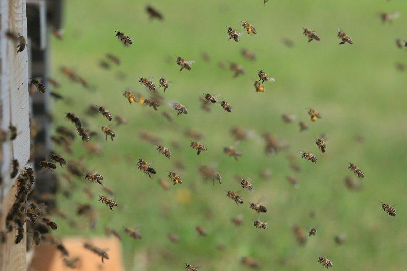 hmyz, včely, alergie