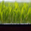 Domácí zelená zahrádka v zavařovací sklenici