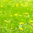 Pampeliška - plevel i léčivá rostlina
