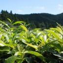 Zelený čaj - nápoj, který pomůže se zdravím a štíhlou postavou