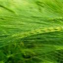 Zelený ječmen - nápoj, který vám vylepší den