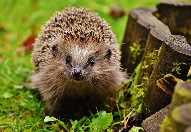 ježek, příroda, chráněná zvířata
