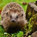 Co se zraněným nebo malým opuštěným ježkem?