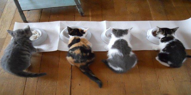 mléko, chovatelství, kočky, granule pro kočky