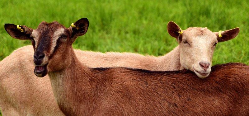 koza, zahrada, chov koz, registrace koz, zdraví, kozí mléko